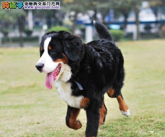 出售苏州伯恩山专业缔造完美品质狗贩子请绕行