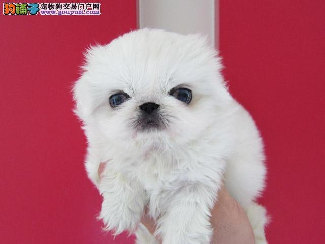 出售纯种健康的贵阳京巴幼犬喜欢来电咨询