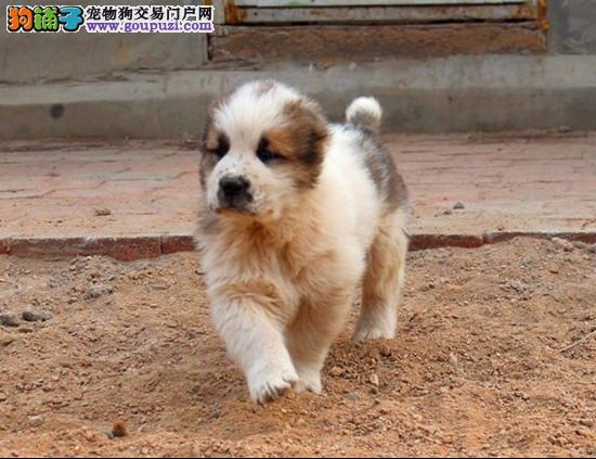 本地出售高品质中亚牧羊犬宝宝保终身送用品