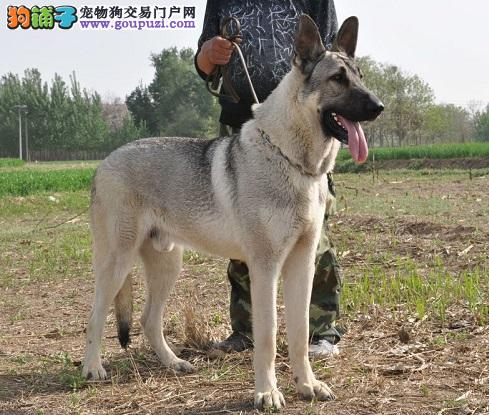 直销纯种狼狗、保证纯种健康、 终身质保、饲养指导