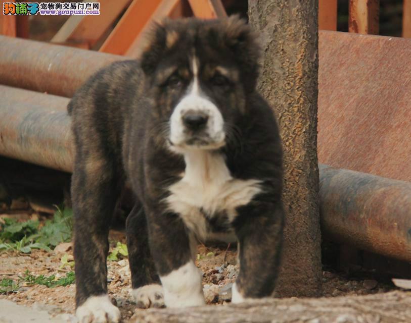 出售纯种健康的中亚牧羊犬幼犬欢迎您的指导