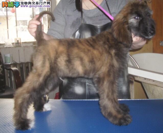 赛级阿富汗猎犬宝宝,顶级品质专业繁殖,购买保障售后