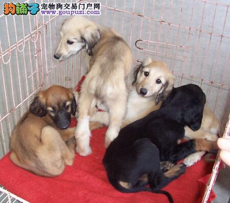 专业正规犬舍热卖优秀的阿富汗猎犬签署各项质保合同