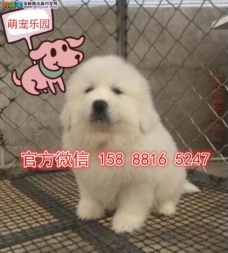 南京犬舍直销外观像雪獒性格温顺护主的大白熊出售了