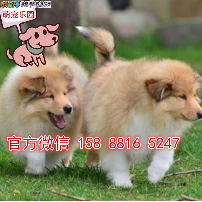 南京犬舍直销贵族高品质苏格兰牧羊犬幼犬