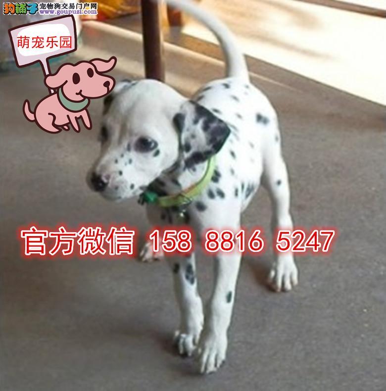 南京犬舍直销黑白闪烁斑点狗