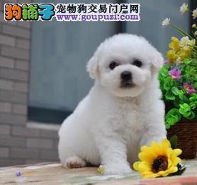 广州哪里有卖纯种比熊犬的 广州比熊多少钱