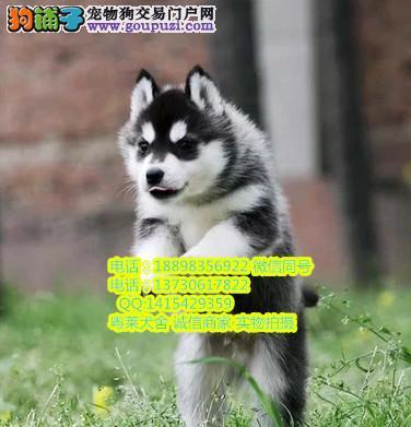 粤莱犬舍繁殖纯种健康优质双血统蓝颜哈士奇