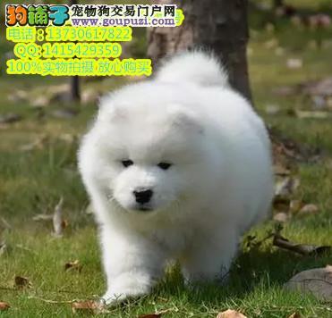 粤莱犬舍繁殖纯种健康优质双血统微笑萨摩耶