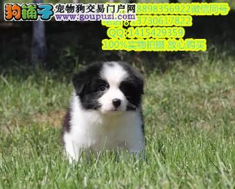 纯种赛级七白到位边境牧羊犬健康质保签订协议免费送货
