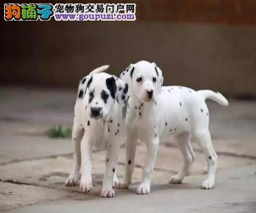 精品纯种海口斑点狗出售质量三包赠送全套宠物用品