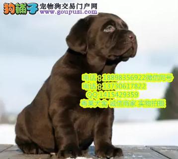 粤莱犬舍直销拉布拉多宝宝 希望能够找到喜欢他的主人