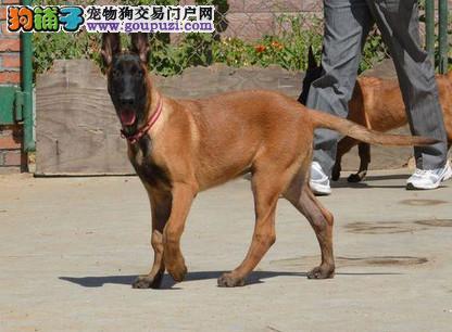 粤莱犬舍专业繁殖基地出售纯种马犬 保纯保健康