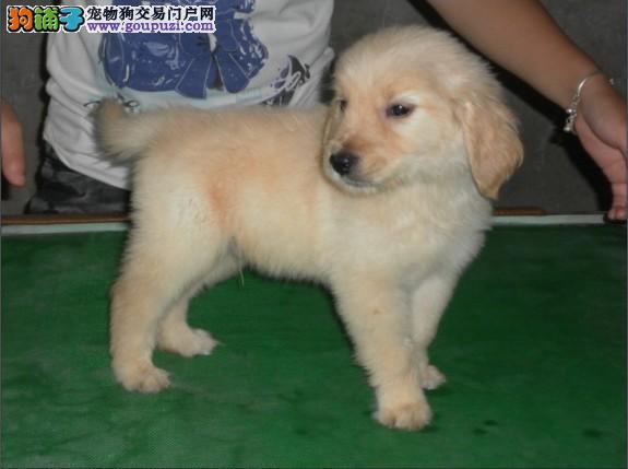 金毛犬价格多少钱一只 哪里有金毛犬卖