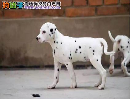 热销多只优秀的昆明纯种斑点狗幼犬签协议上门选