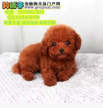 专业繁殖 泰迪犬 出售泰迪熊签协议包健康