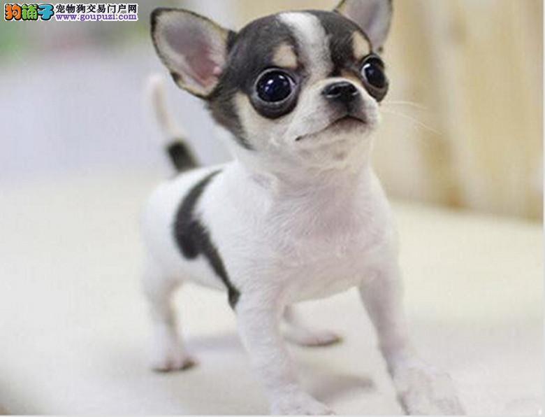 重庆出售纯种墨西哥吉娃娃幼犬 大眼睛苹果头 小体娃娃