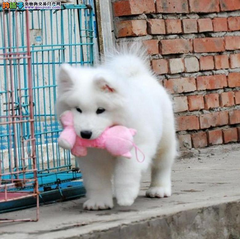重庆出售迷人眼球微笑萨摩耶 ,亮丽雪白的被毛聪明听话