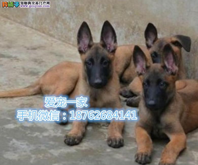 重庆比利时马犬 动作灵敏 兴奋度高 警觉性强签协