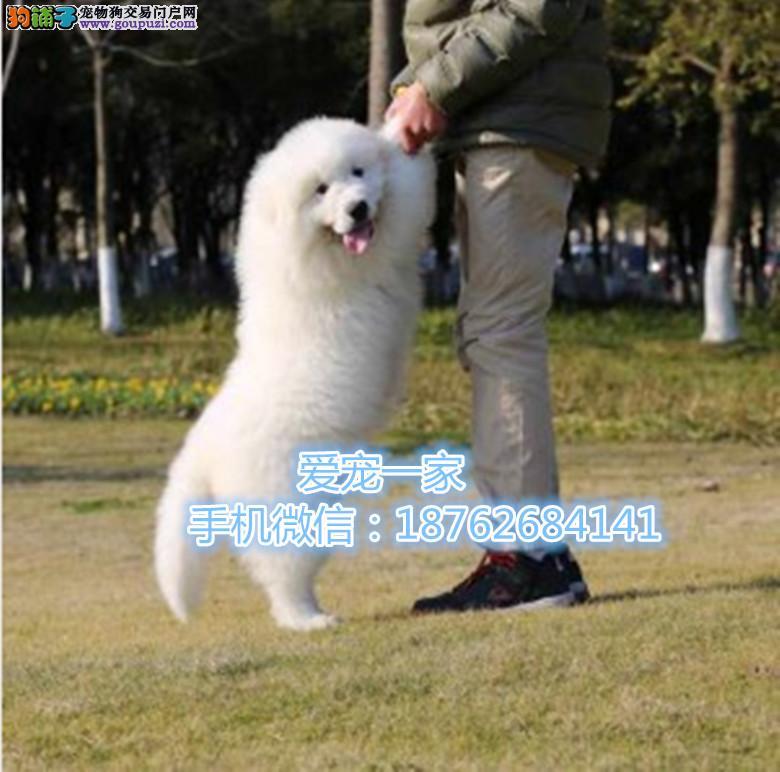 重庆雪兽系赛级大白熊幼犬 骨骼极品幼犬待售