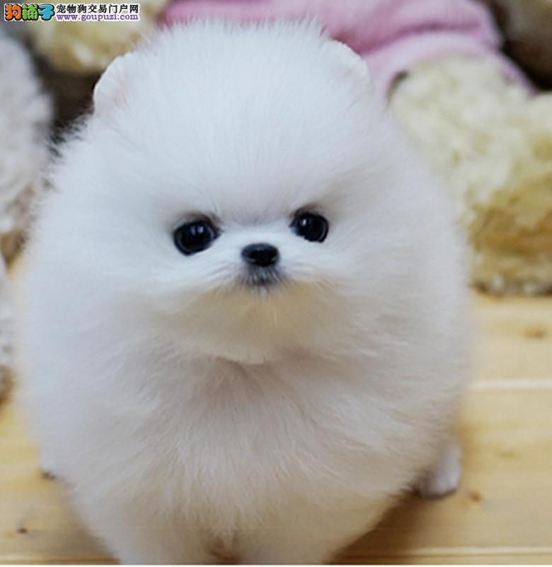 重庆小体哈多利版博美 白色球体博美 纯种可爱博美出售
