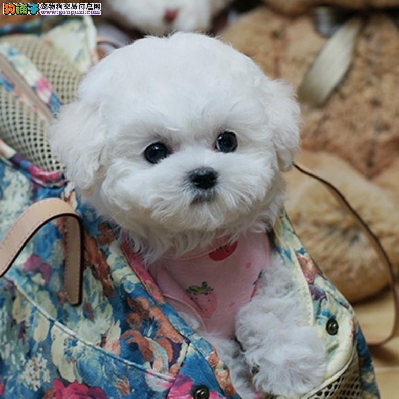 重庆出售超级可爱性格温顺待人和蔼的比熊幼犬
