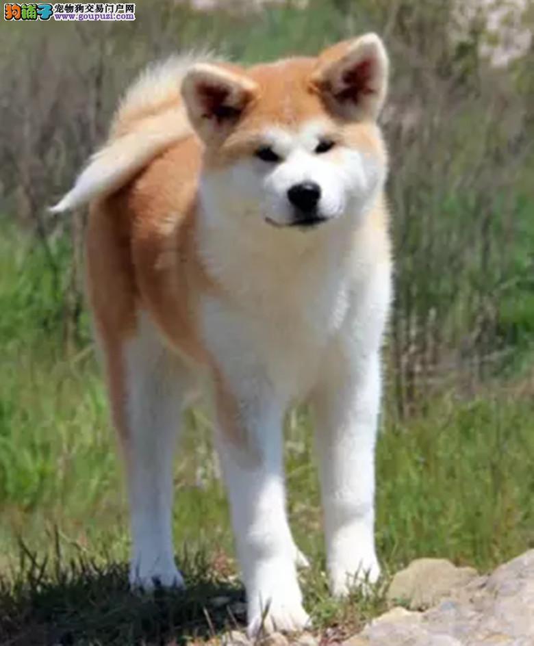 重庆性格温顺的秋田犬找新主人 品相极佳 保证健康疫苗