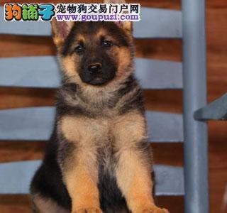 重庆哪里有卖狼狗 狼狗卖多少钱只 精品1000、只