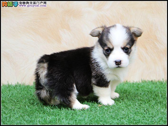 长沙哪里出售柯基犬 纯种两色柯基价格 三色柯基多少钱