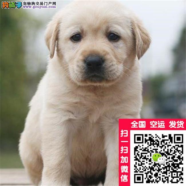 拉多幼犬 国外引进 自家繁殖 另拉多对外借配