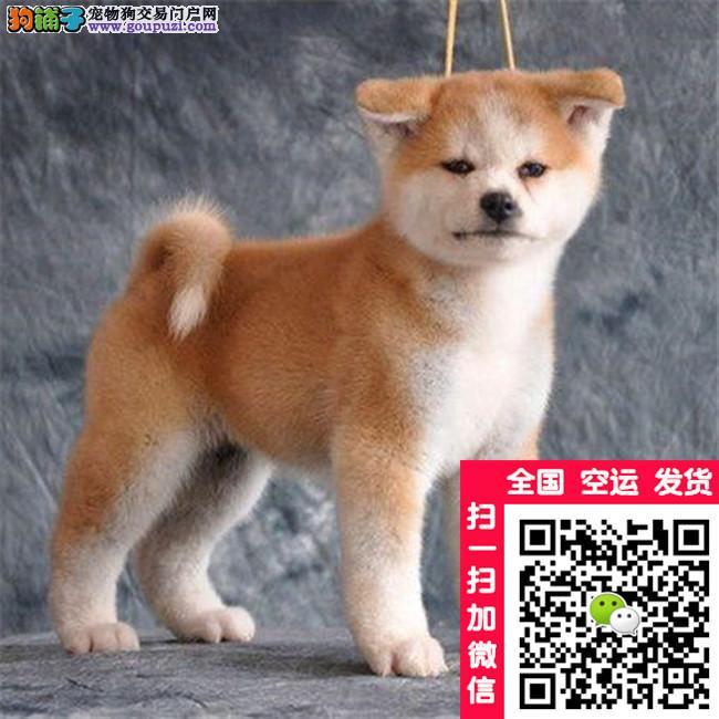 秋田犬打完疫苗带血统证书芯片 售后签协议