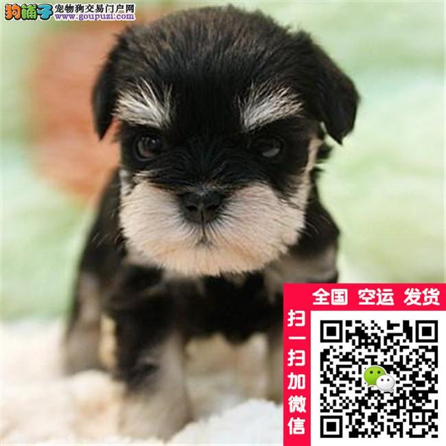 出售纯种可爱雪纳瑞幼犬健康保障可上门选购