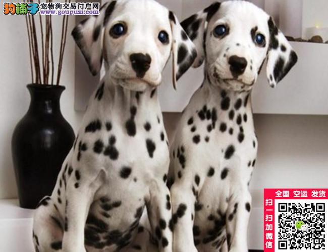 斑点犬养殖基地 斑点幼犬 斑点成年犬 斑点犬犬舍