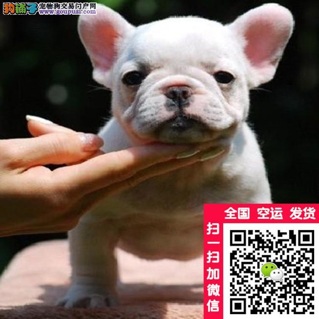 冠军级台湾直系法国斗牛犬丨高品质斗牛丨法牛、法斗C