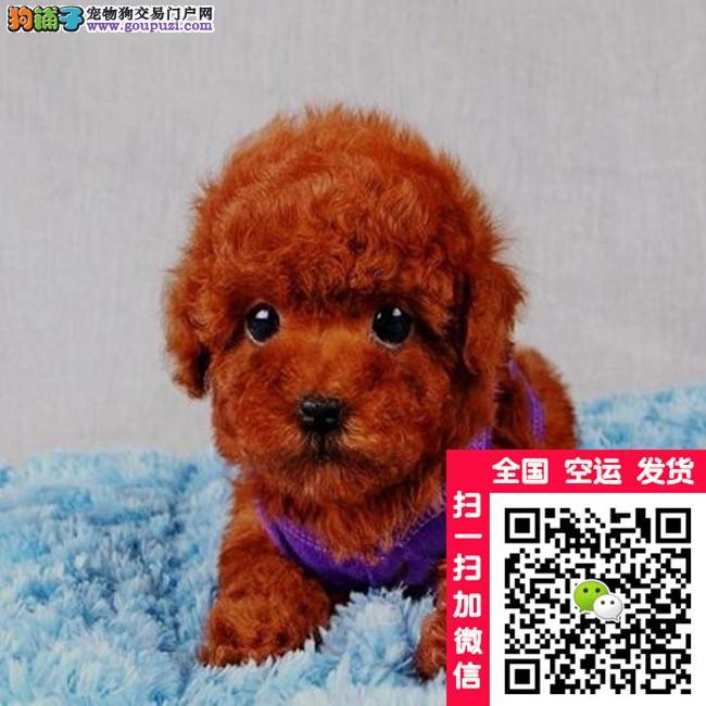 正规犬舍繁殖 纯种泰迪犬 售后三包 购买签协议