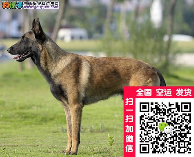 纯血统马犬 警惕性强 购犬签协议 保成活保纯种