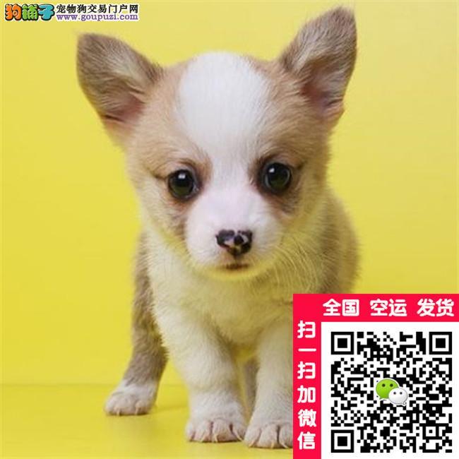 出售威尔士级柯基幼犬 双色三通 纯种 保健康