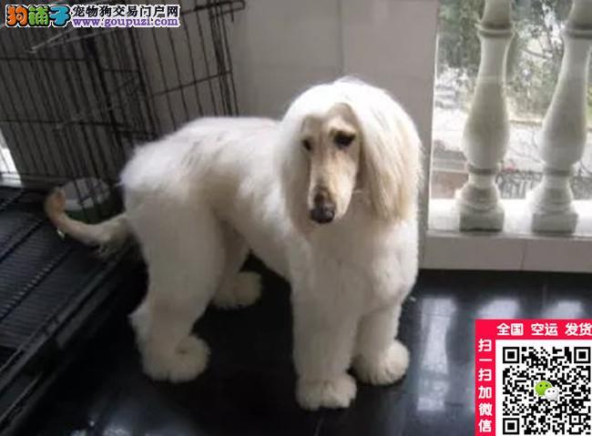 美国登陆冠军直子阿富汗猎犬出售,国内顶级品质