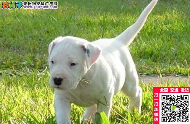 专业繁殖杜高犬 犬舍直销血统健康均有保障三年保活
