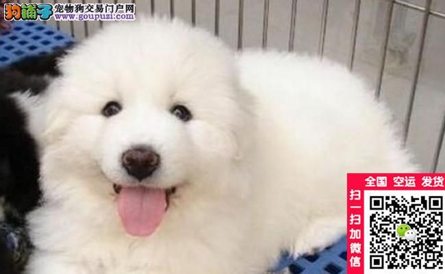 精品纯种大白熊幼犬 纯种健康 可签订购犬协议