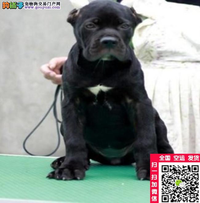 卡斯罗幼犬出售意大利纯种卡斯罗幼犬价格专业犬舍繁殖