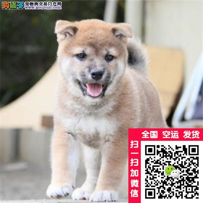 纯种日系柴犬,多只可选,签合同包健康三个月 可视频
