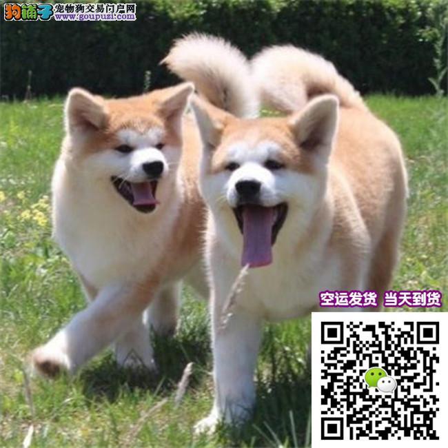 犬舍直销一精品秋田犬一签协议一包养活一三个月可退换