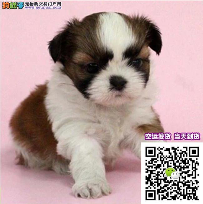纯种CKU 西施犬 幼犬出售、可签协议包健康