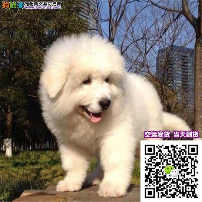 出售赛级纯种健康品质大白熊犬 终身质保本市免费送货