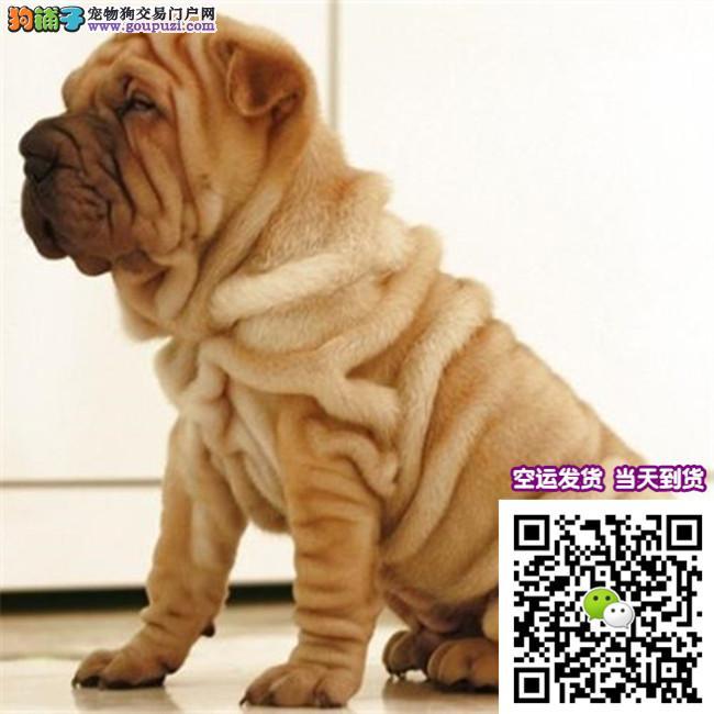 纯种高品质沙皮 憨厚可爱 cku认证犬业