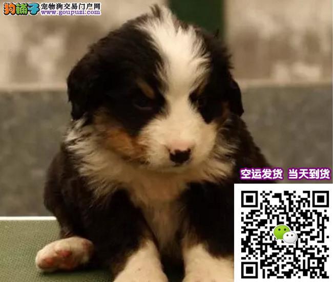 体型高大性格温顺 忠实伴侣犬伯恩山幼犬出售 可挑选