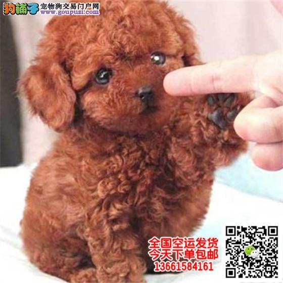 泰迪犬多少钱一只 正规犬舍繁殖 诚信交易 可签协议
