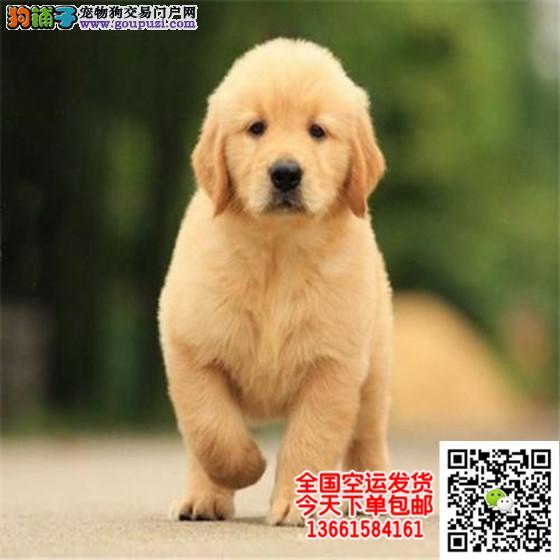 CKU认证犬舍直销赛级金毛犬纯种健康签订质保协议