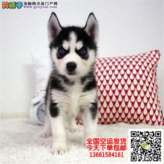 哈士奇犬舍出售高品质双蓝眼三把火精品哈士奇幼犬